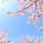 仙台の桜,開花予想2017!榴ケ岡公園や西公園についても