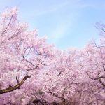 ジャパネットたかた(CM)の桜の撮影場所はどこ?女の子についても