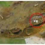 アズマヒキガエルが北海道で大発生!毒の成分や天敵についても調べてみた